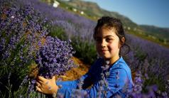 Konya'da erken dönem lavanta hasadı başladı