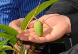 Antalya'da mango hasadı başladı