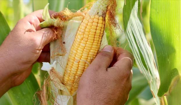 Vanda devlet destekli yetiştirilen silajlık mısırın hasadına başlandı