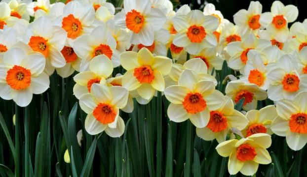 İlkbaharın habercisi nergis çiçekleri açtı
