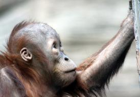 Borneo'da 16 yılda 100 bin orangutan öldü