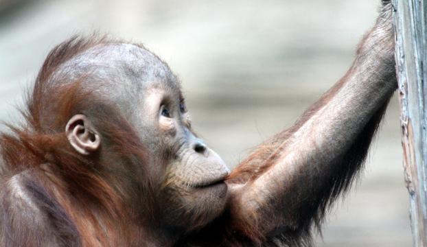 Borneoda 16 yılda 100 bin orangutan öldü