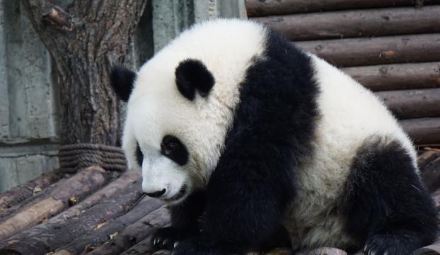 Çinde panda dışkısından tuvalet kağıdı yapıldı