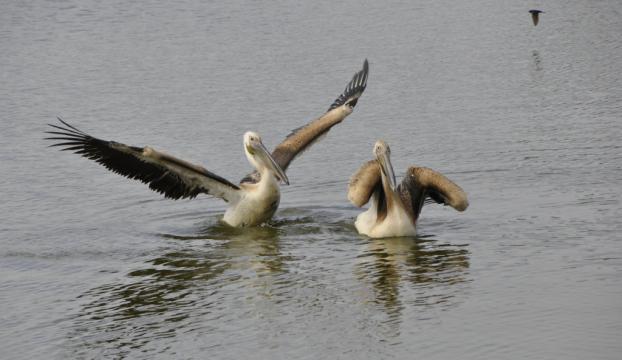 Yaralı pelikan, tedavisinin ardından doğaya bırakıldı