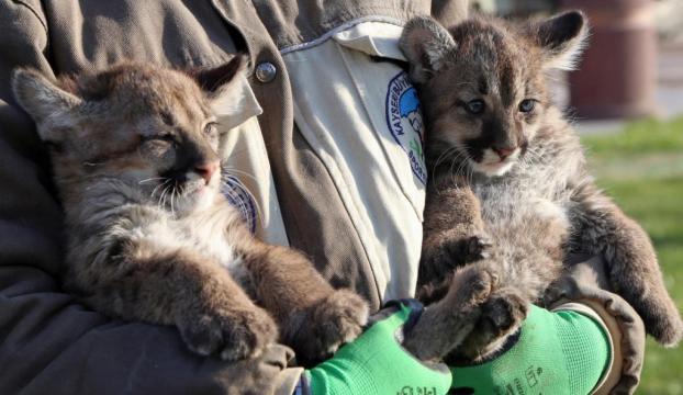 70 günlük puma yavruları görücüye çıktı