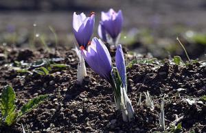 """""""Mucize bitki""""nin hasadı başladı"""
