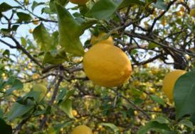 Çukurova'da limon hasadı başladı