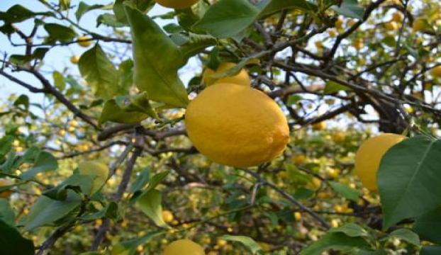 Çukurovada limon hasadı başladı