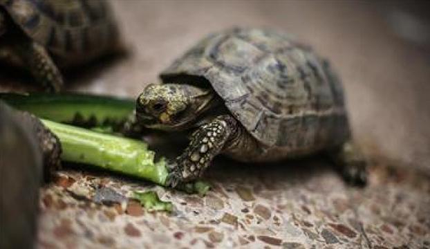 """Meksikadaki """"egzotik tat"""" kaplumbağa neslini tehdit ediyor"""