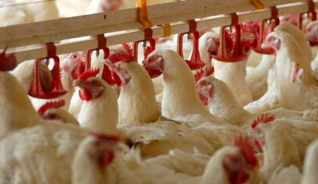 Tavukta antibiyotik dönemi bitiyor
