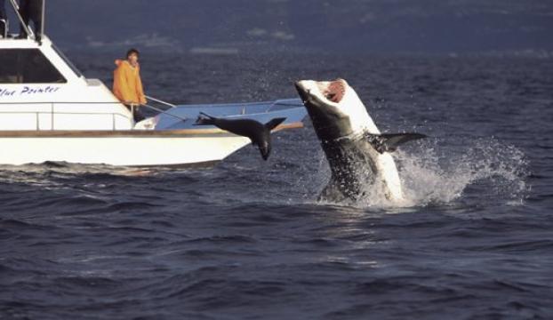 Köpekbalıkları Boğazda tehlike saçıyor