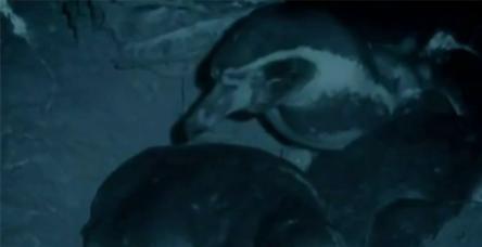 test'Vampirlerin' yavru penguen avı
