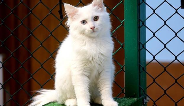 Van kedisinin nesli tehlikeden kurtuluyor