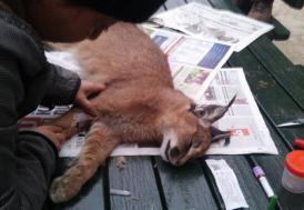 Yabani kedi karakulak GPS'le izlenecek