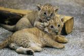 Yavru aslanları hiç böyle görmediniz!