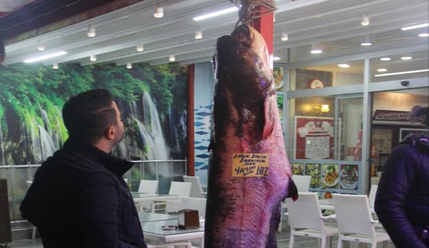 Kızılırmakta 103 kilogramlık yayın balığı yakalandı