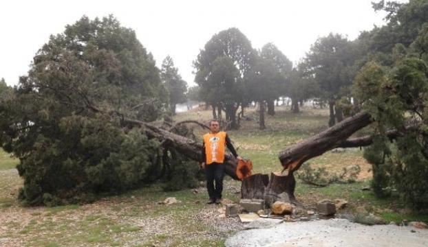 Yüzlerce ağaç kesildi