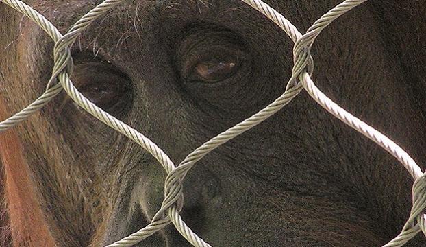 Orangutanın özgürlük hakkı için dava