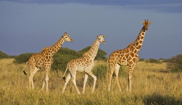 Zürafalar da yok olma tehdidi altında